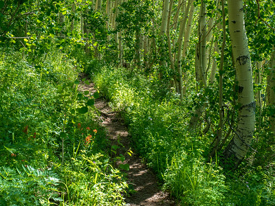 A particularly lush section of the trail passing through an Aspen grove.