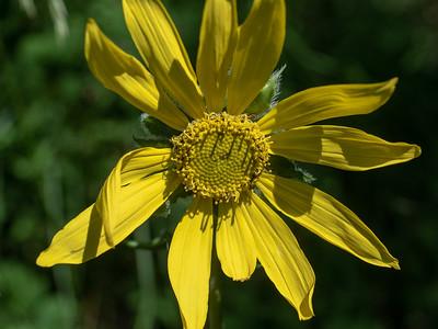 Helianthelia quinquenervis