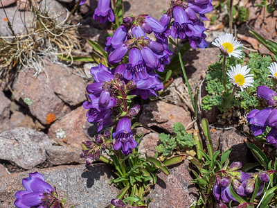 Hall's Penstemon. These shockingly bright flowers crowned the scree fields of Summit Peak