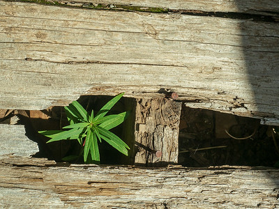 New growth, old porch. Fireweed growing through the planks