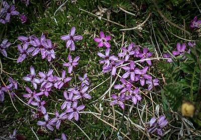 Moss Campion, Silene acaulis