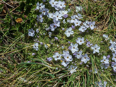 Alpine Phlox, I think.