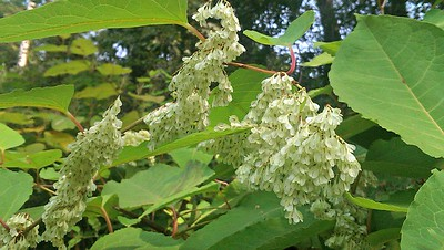 Bountiful Knotweed