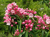 The mountain laurel doesn't bloom here until late June. Most blooms were just starting to open up in late June 2007. .