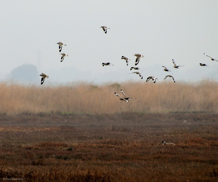 Willets chased by a fox