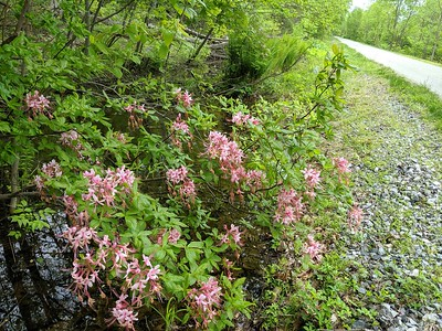 Wild Azaleas in Bloom along the Ghost Town Trail