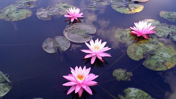 Lake Rowenna Waterlillies