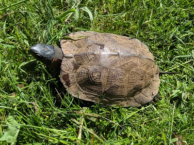 Wood Turtle at Trail