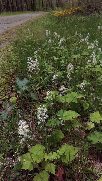 Foamflowers Grace Trail Edges