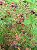 Blackberries @ 4200 ft. in Grayson Highlands State Park near Mount Rogers, Va.