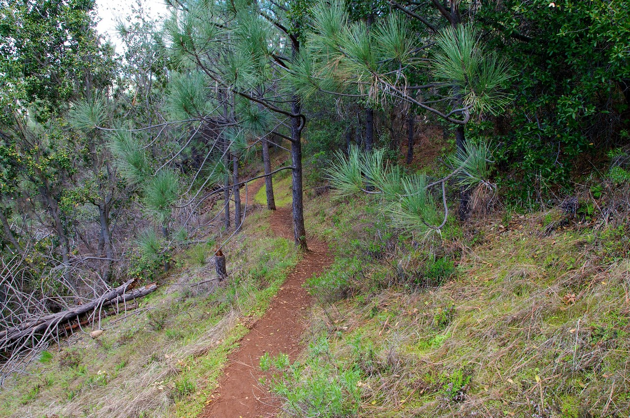 Narrow path through the Pines on Mitchell Rock trail