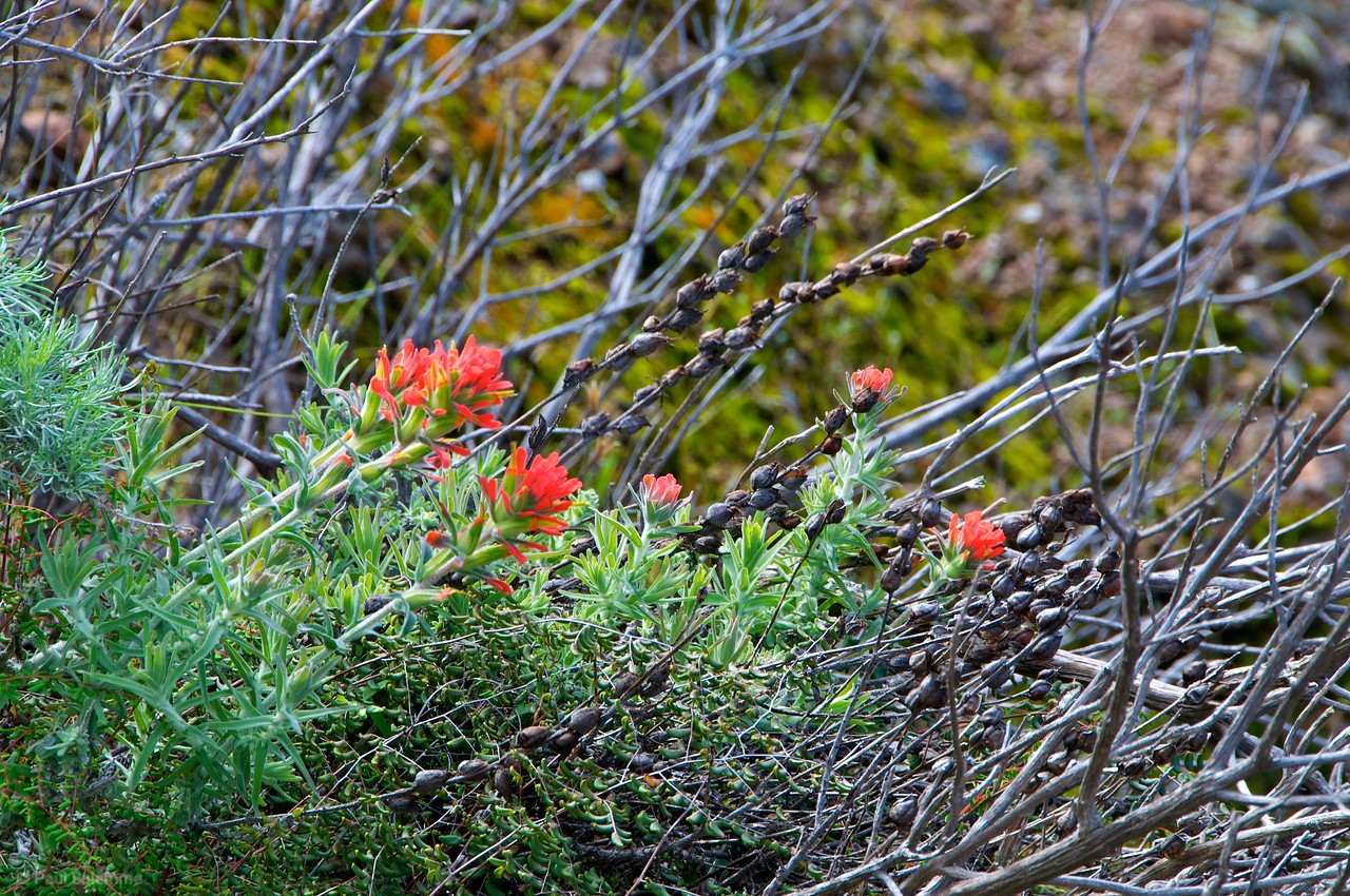 Early spring Indian Paintbrushes