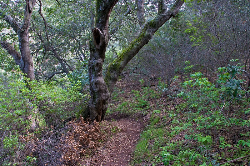 Ghost tree on Mitchell Canyon trail