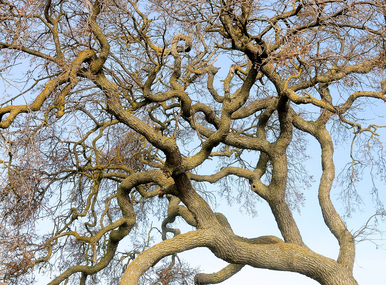 The structure of this Oak is beautiful