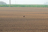 Near Turves a hare lopes across a field…
