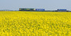 66572 westbound on the 4E22 to Leeds passing a field of late flowering oil seed rape…