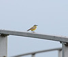 A Grey Wagtail on the bridge over the Twenty Foot River on Wype Drove.
