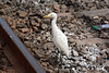 Kozhikode station supports some unusual wildlife, unusual that is for a railway station - like this egret and...