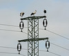 I wonder what my colleagues in UKPN would make of three storks on a transmission tower.