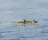 At Denver sluice a Great Crested Grebe and offspring.