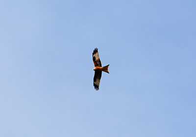 Another red kite comes drifting across to see what I was up to.