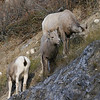Rocky Mountain Bighorns.