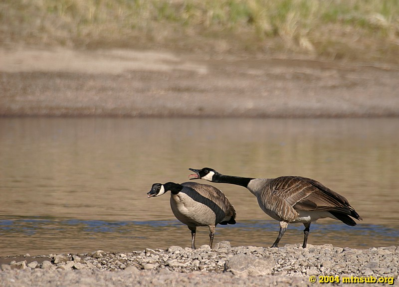 Migrant Canadian Geese on the Colorado River.