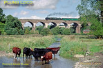 "Bulleid ""Merchant Navy"" 4-6-2 No. 35005 ""Canadian Pacific"" crosses Hurstbourne Viaduct, just east of Andover, whilst working 1Z80, ""The Cathedrals Express"", 11:00 from Waterloo to Salisbury at 13:05 on Wednesday 3rd October 2001. The local cattle don't seem to be bothered by the train's passing! Slide No. 29098."