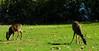 Deer grazing near the entrance to Lake Piru rec area.
