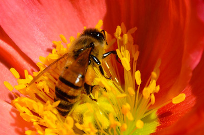 Mr bee was too busy to notice me sneak up on him. :-)