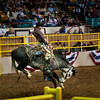 Bronco bustin' at the ,National Western Stockshow, Denver, Colorado,