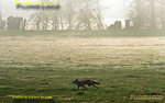 With the early sun beginning to clear the morning mist and dew, Fantastic Mr Fox makes for his lair across the fields near King's Sutton. 07:34, Saturday 24th March 2012. Digital Image No. GMPI11332.