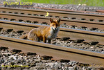Four feet in the four foot! This fox may not be wearing a Hi-Vixen vest but at least she is correctly facing oncoming traffic as she perhaps searches out her quarry at Ardley Quarry, north of Bicester. Having heard the camera shutter, she has stopped to have an inquisitive look. 16:12, Thursday 12th May 2011. Digital Image No. GMPI8954.