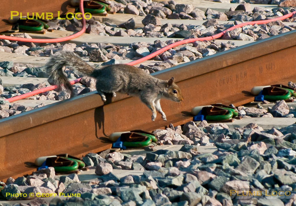 Local squirrel crossing the lines at the north end of Princes Risborough station - non-stop on the up main line! 07:19, Monday 25th May 2012. Digital Image No. GMPI12088.