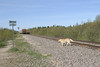 Dog crossing tracks just south of Store Creek after the mixed train or Little Bear has passed 2004 June 12