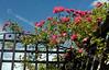 Roses at Grosmont Station Entrance