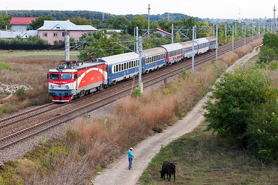 477-690 approaches Buftea with the overnight train to Budapest as in the foreground a cow gets taken for a walk on a long lead. Tuesday 24th September 2013.