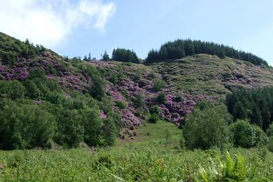 The rhodedendrons of Muncaster Fell in full bloom, seen from Miteside loop, 02/06/08.