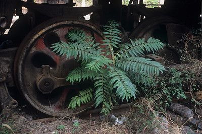 Ferns growing through the wheels of an old engine.