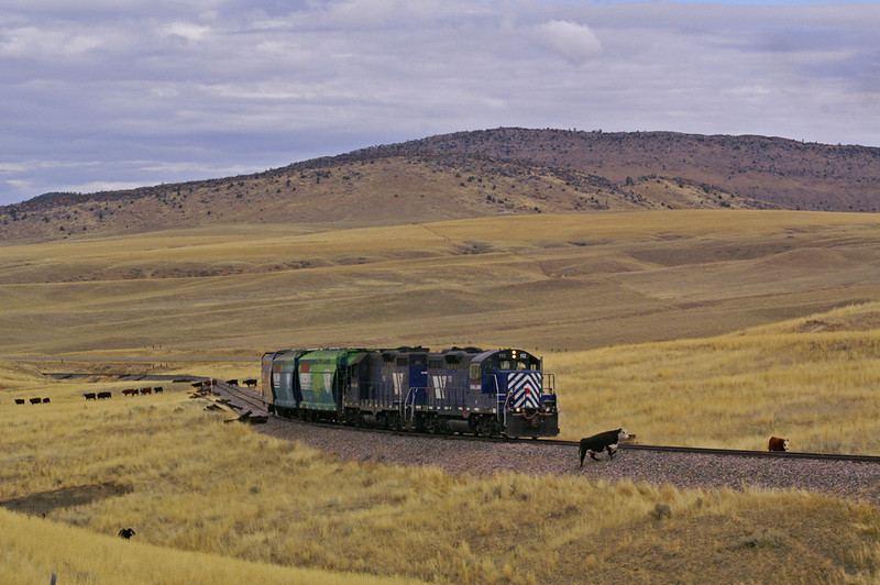 MRL's Harrison Local has to move slowly as they clear cattle from the track.