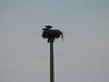 13 June 2009 :: A common sight along the railway lines between Vancouver and Kamloops are osprey nests and a pair of ospreys are seen on their nest at the top of a specially placed telegraph pole at Kamloops