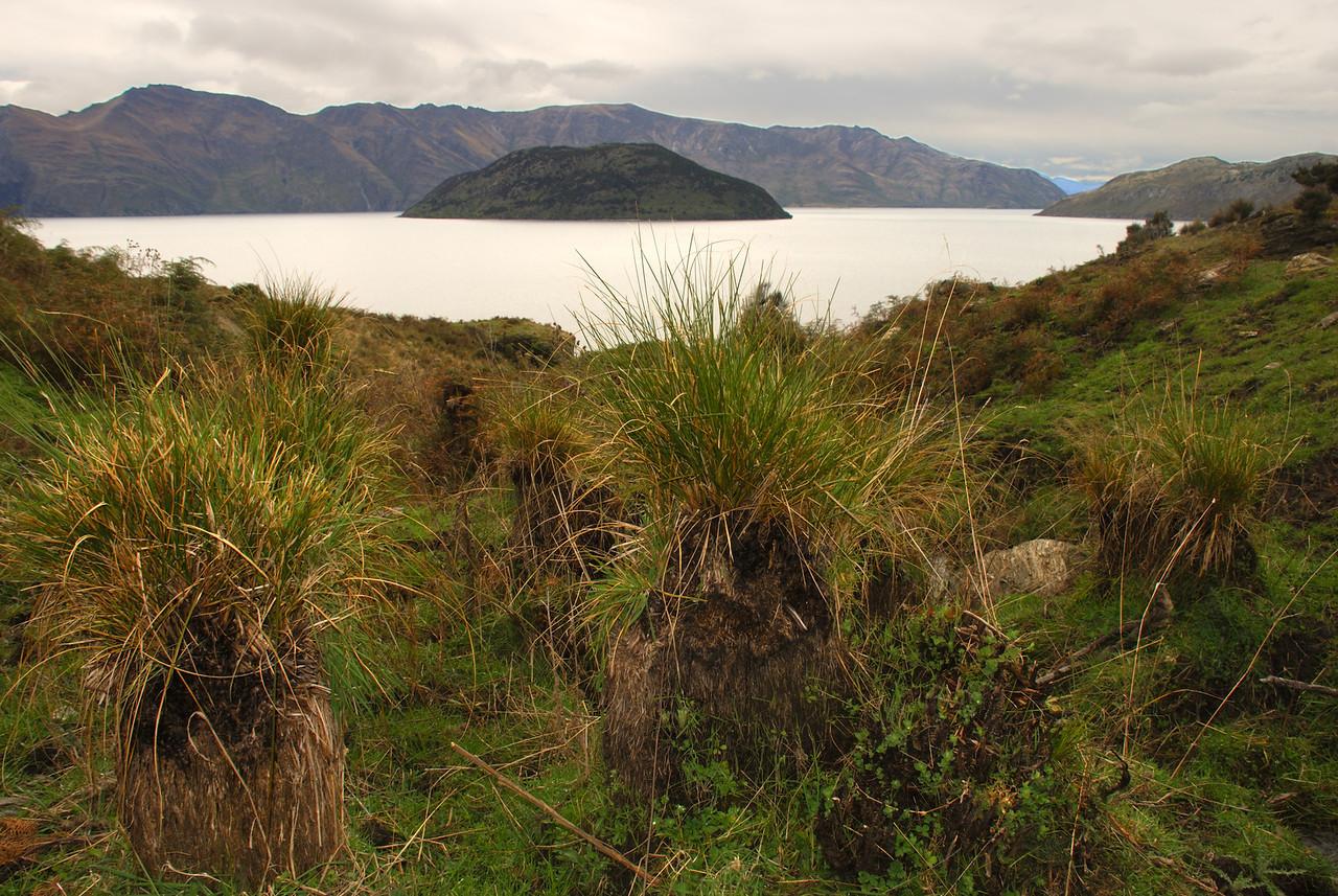 Niggerhead (Carex secta). Minaret Burn Track, Lake Wanaka