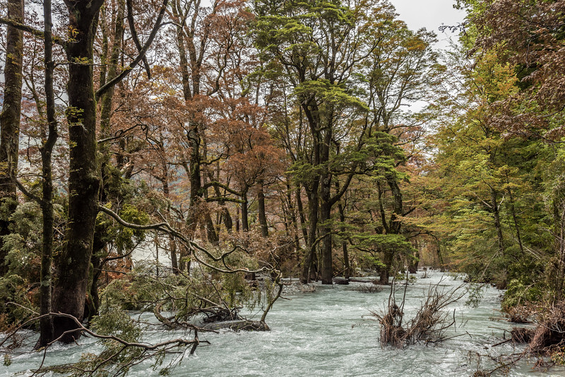 The Dart River flows through beech forest after being re-directed by Slip Stream