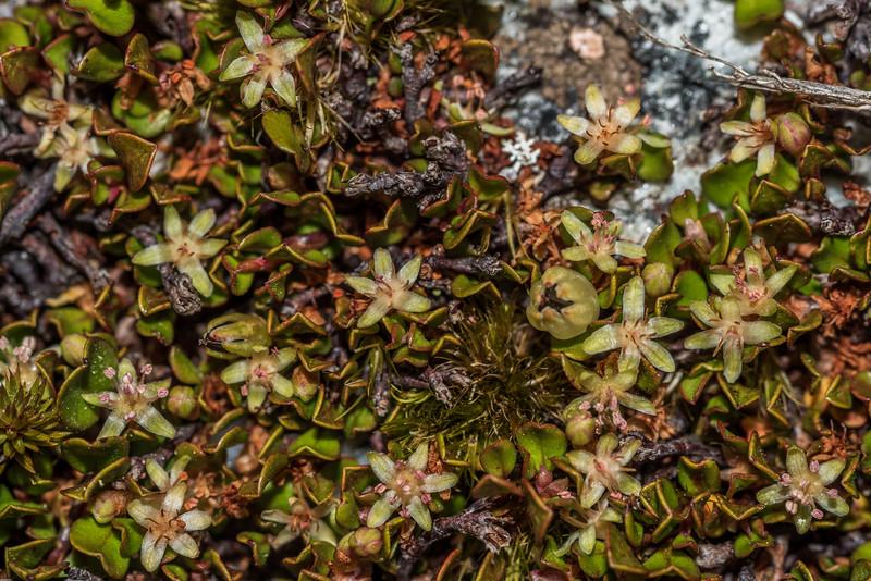 Creeping muehlenbeckia / creeping pōhuehue (Muehlenbeckia axillaris). Daleys Flat, Dart River