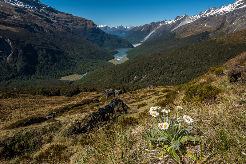 Celmisia verbascifolia. Barrier Range, Margaret Burn / Dart River
