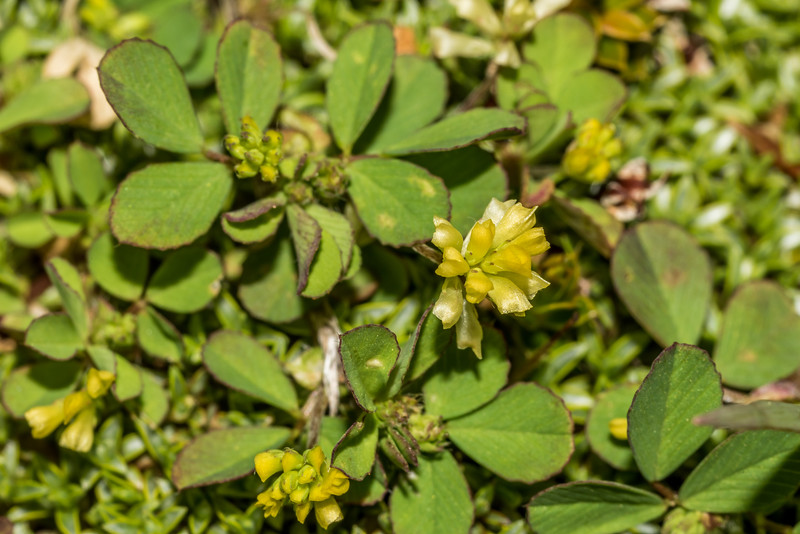 Suckling clover (Trifolium dubium). Daleys Flat, Dart River