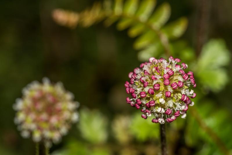 Bidibid / hutiwai or piripiri (Acaena anserinifolia). Daleys Flat, Dart River