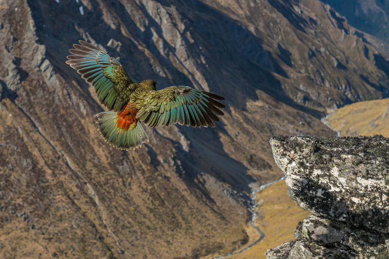 Flight over the Rumbling Burn. Kea (Nestor notabilis), Buchanan Peaks