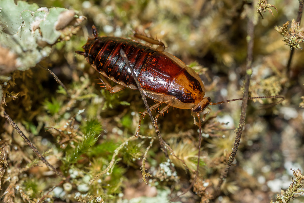 Cockroach (Celatoblatta notialis) male. McKellar Hut, Greenstone Track.