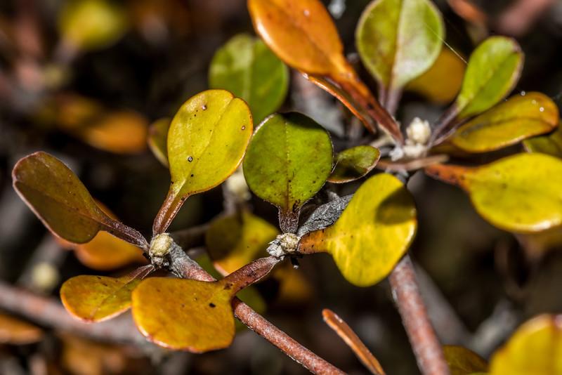 Wire-netting bush / korokio (Corokia cotoneaster). Greenstone Track car park
